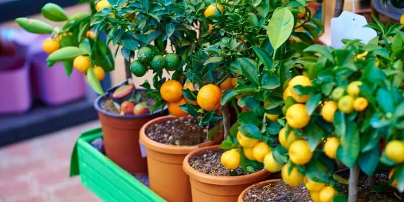citrus trees at a nursery