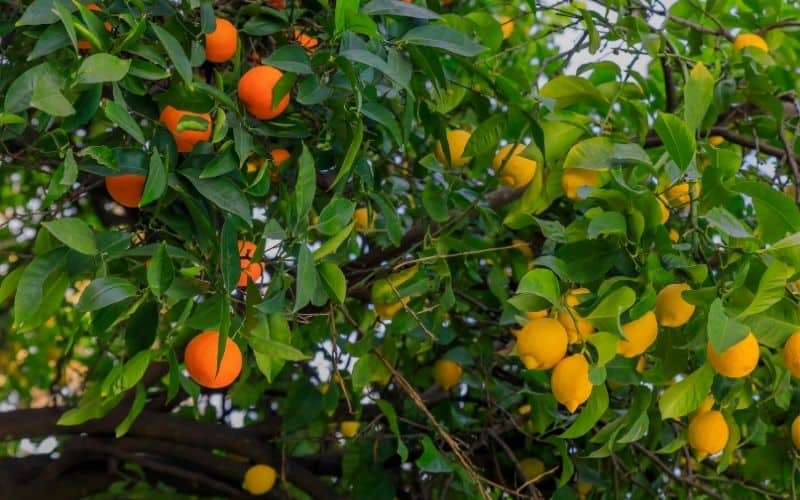a grafted tree growing both oranges and lemons