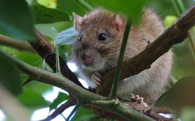 a rat in a citrus tree