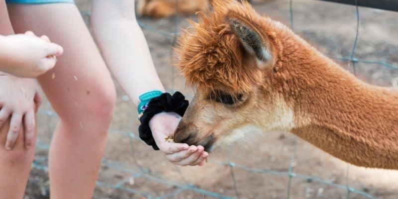 alpaca eating a snack