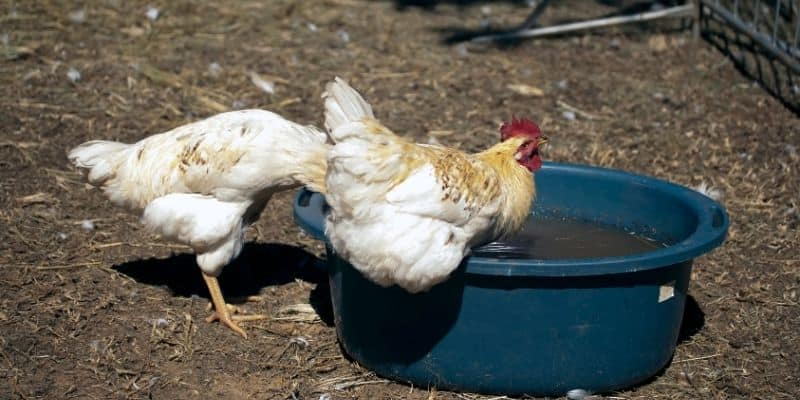 chicken drinking and swimming in a pool