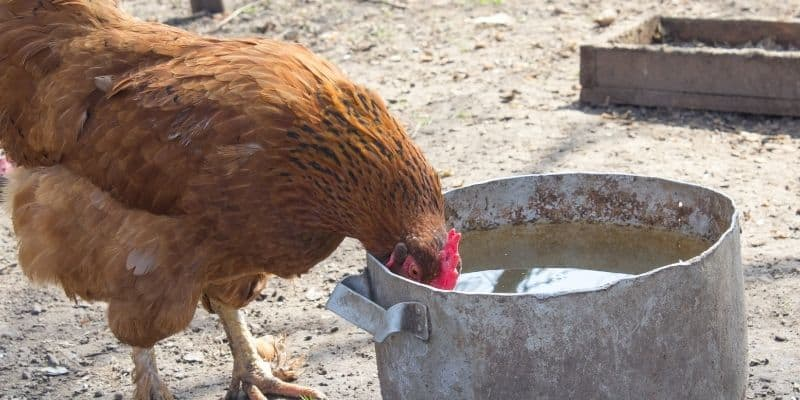 chicken drinking water out of a bucket