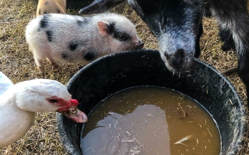 duck and goat dirty watering bucket