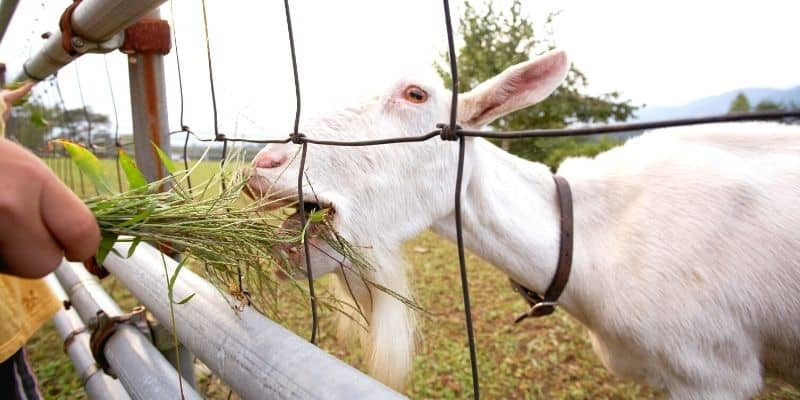 goat eating grass through a woven wire fence