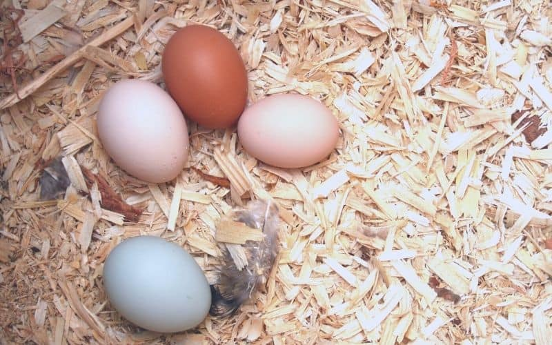 white, brown, and blue chicken eggs