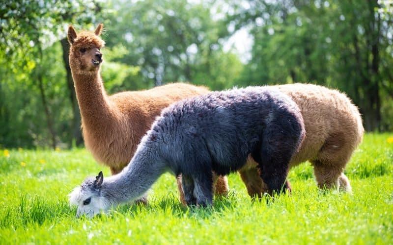 alpacas feeding on a grassy pasture