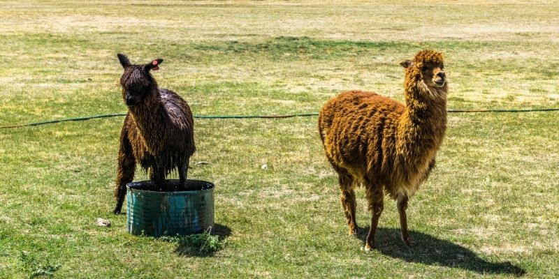 alpacas with a bucket of water on a pasture
