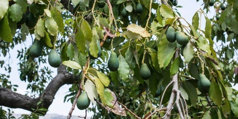avocado fruit growing on a tree