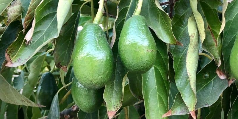 avocado fruiting on a tree