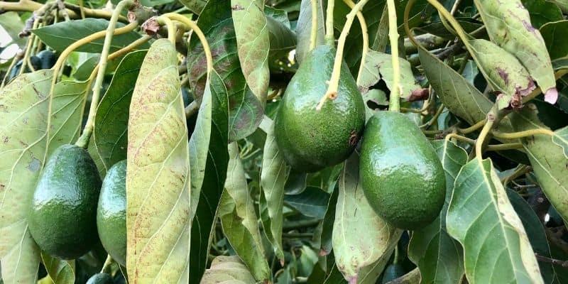 avocado tree fruiting