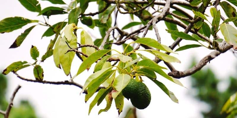 avocado tree with yellow leaves