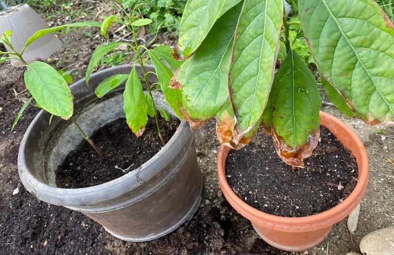 our avocado plants with brown leaves