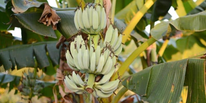 banana tree that is fruiting