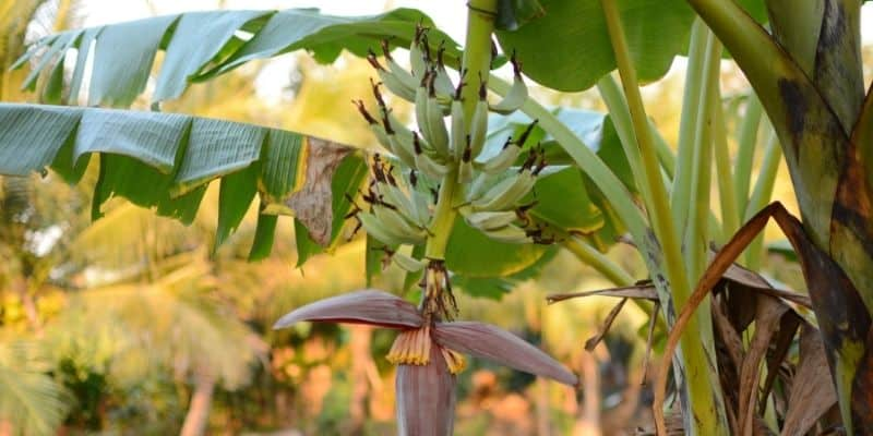 banana tree with a flower and fruit