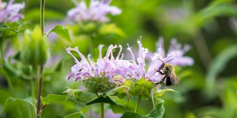 bee balm with a bee