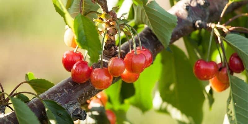 cherry tree fruiting