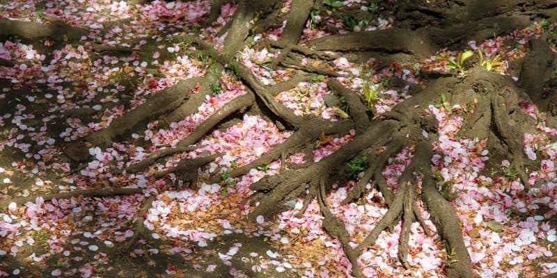 cherry tree roots and blossoms