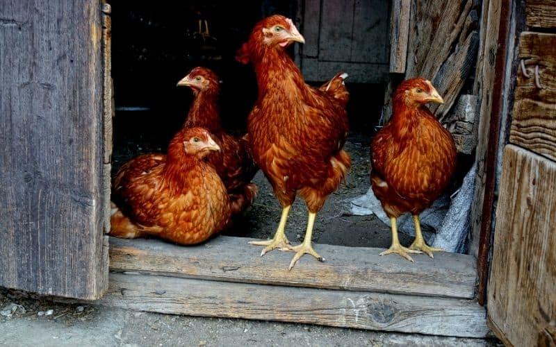 chickens in a coop with the door open