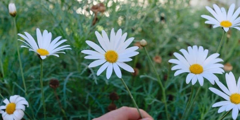 daisies flowering