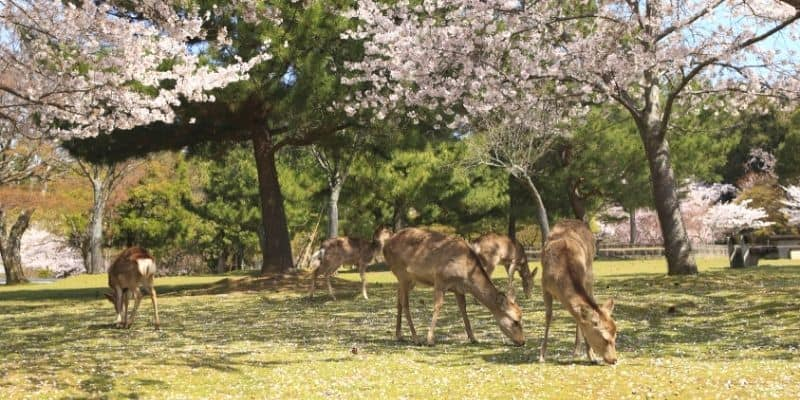 deer grazing under cherry trees