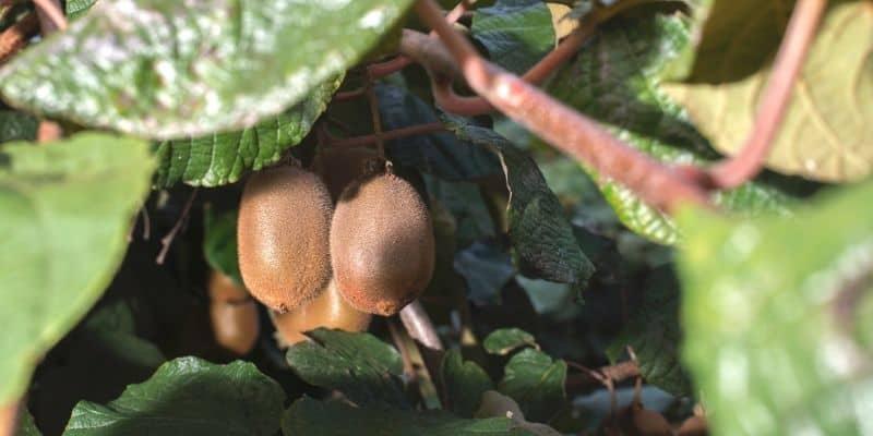 Kiwi plant with fruit