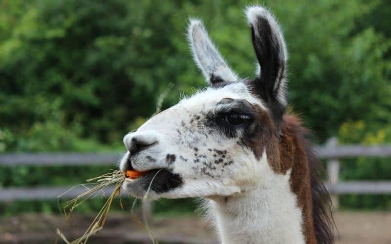 llama feeding on hay and a carrot
