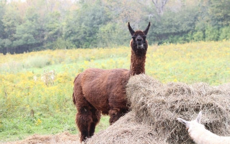 llamas eating a pile of hay