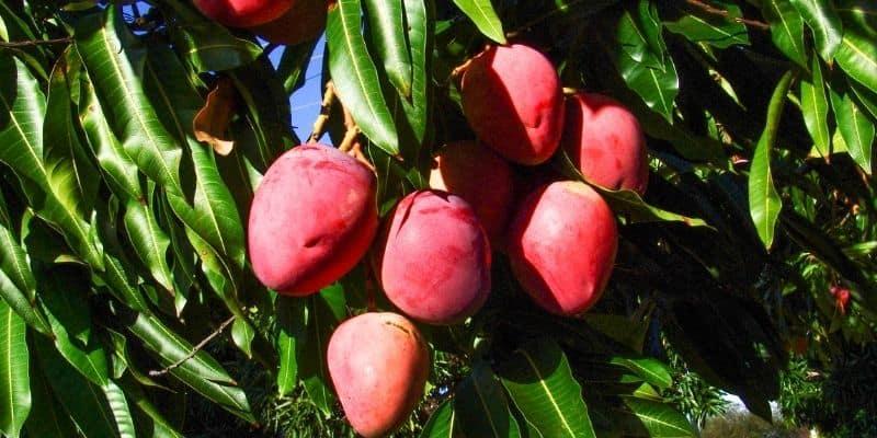 mango tree with fruit
