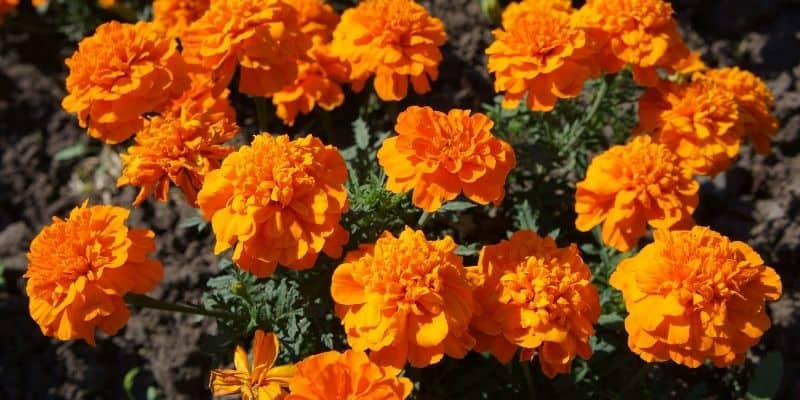 marigolds in a garden