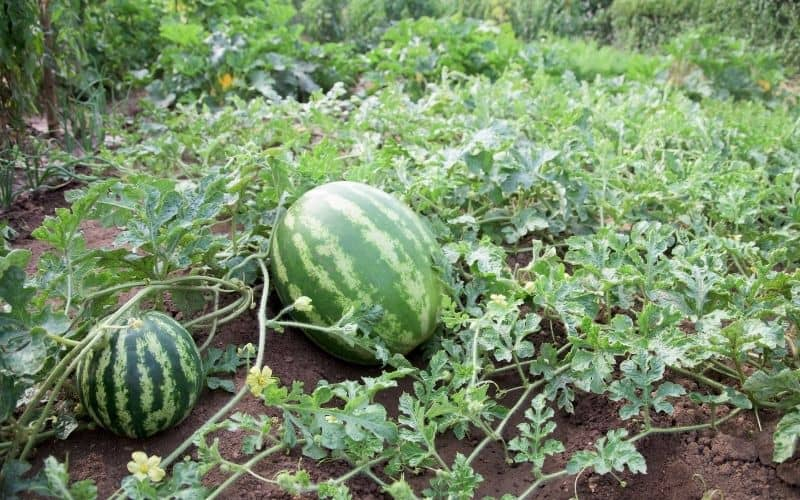 watermelon plant growing with some fruit