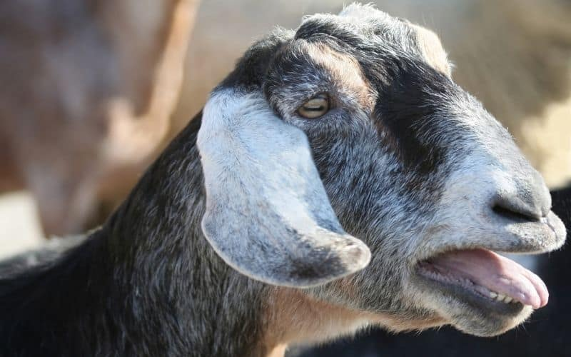 a goat bleating