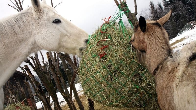 a horse and goat eating from a hay net