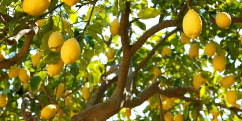 a lemon tree with a lot of fruit