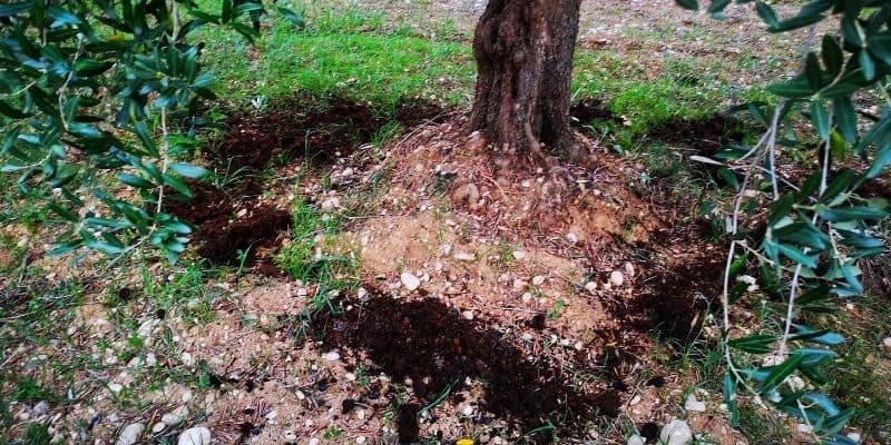 an olive tree fertilized with manure