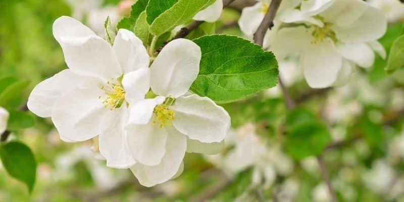apple tree flowers blooming