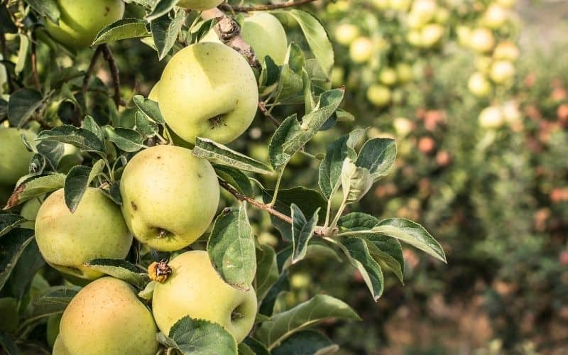 apple tree with curling leaves