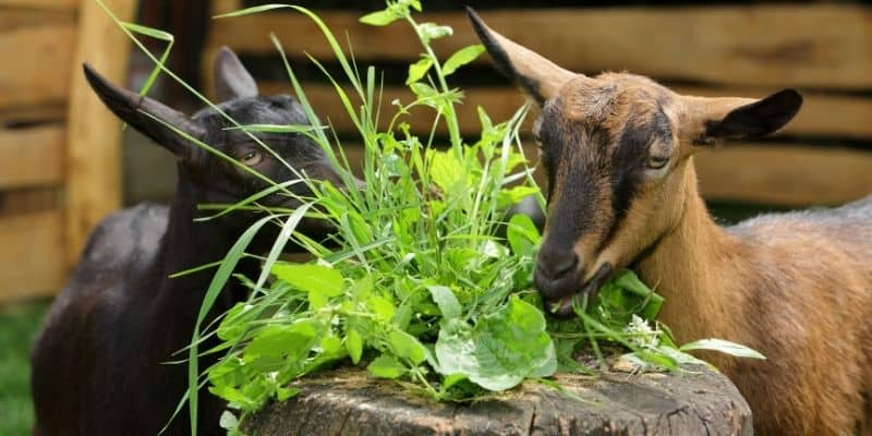 goats-eating-weeds-and-grasses