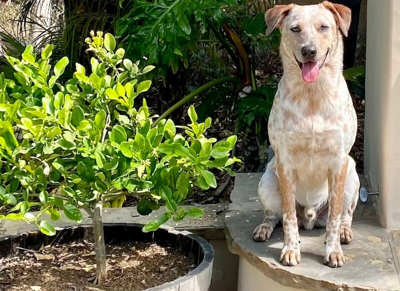 our dog Banjo with our Kaffir lime tree