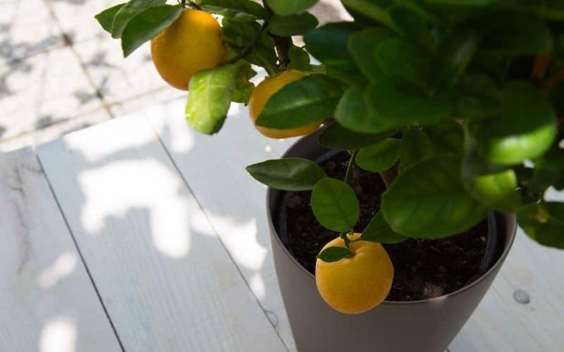 potted orange tree outside