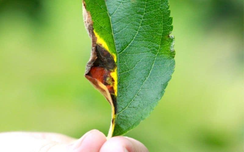 yellowing apple leaf with cedar apple rust disease