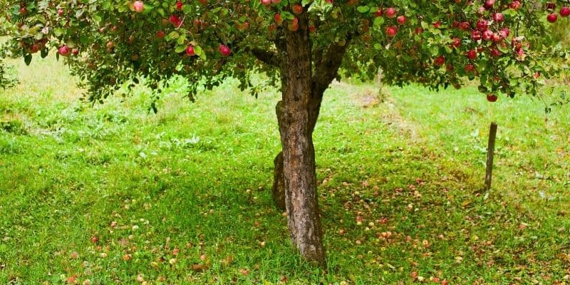 apple tree and the ground