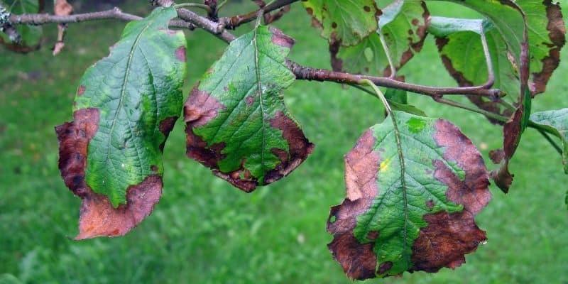 apple tree leaves browning