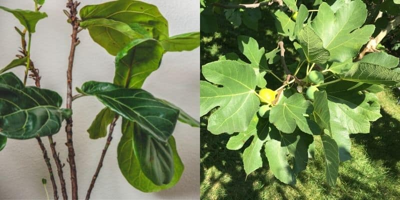fiddle leaf fig and a fig tree