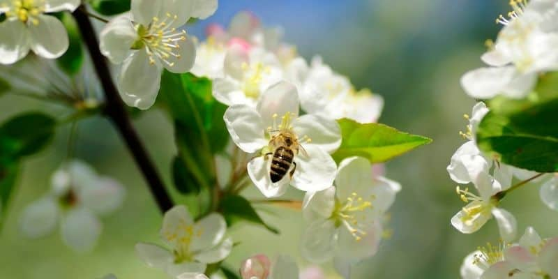a bee pollinating an apple tree flower