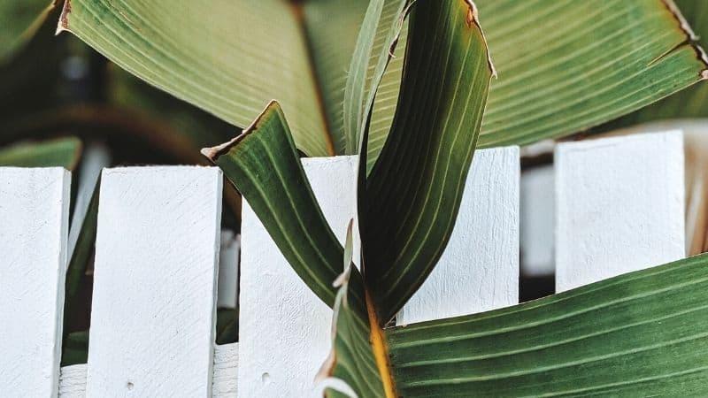 a broken and split banana plant leaf