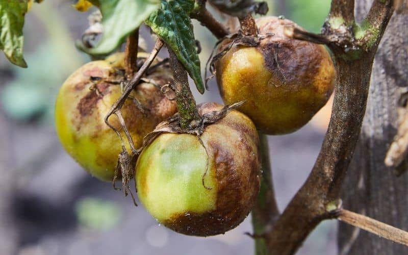 a tomato plant infected with Phytophthora root rot