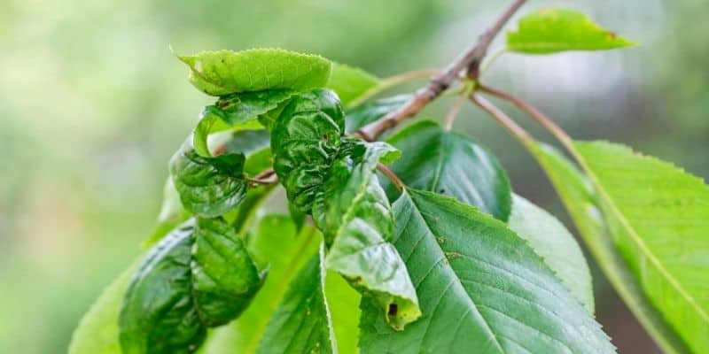 cherry tree leaves curled from aphids
