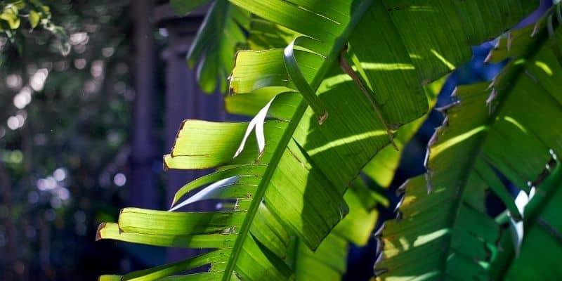 droopy banana plant leaf