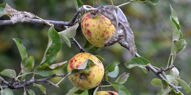 fire blight on an apple tree