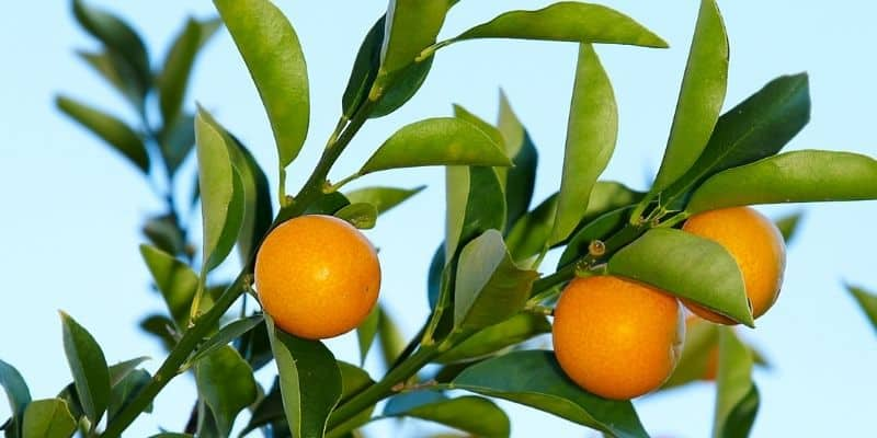 kumquat tree with some fruit and curled leaves